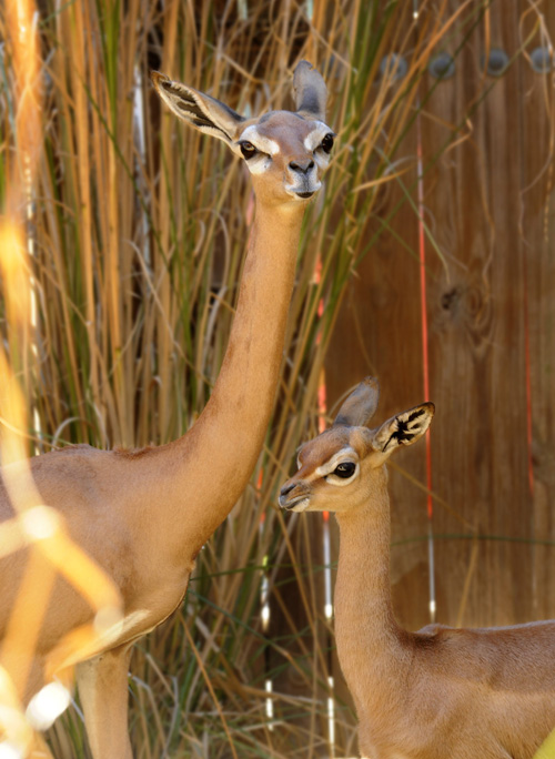 Squirt, Animal Kingdom's 28th Gerenuk Calf