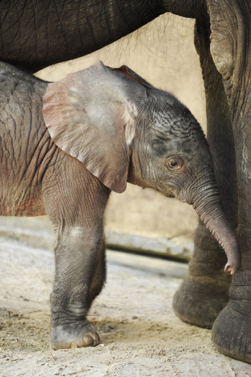 New Baby Elephant Arrives at Disney's Animal Kingdom