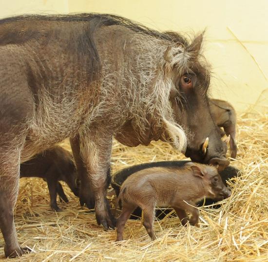 Baby Warthogs at Disney's Animal Kingdom