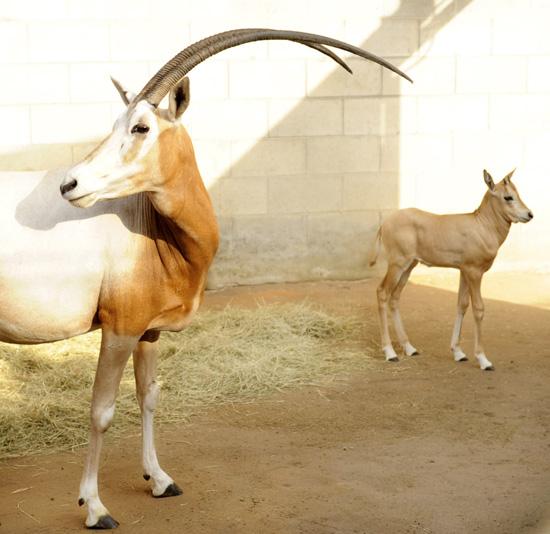 Oryx at Disney's Animal Kingdom