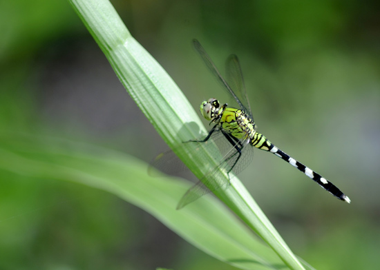 Dragonfly at Fort Wilderness