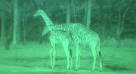 Giraffes through binoculars view