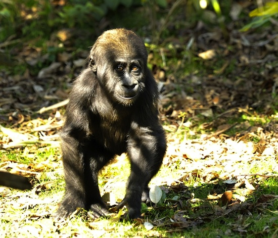 Lilly, An Endangered Western Lowland Gorilla, By: Gene Duncan