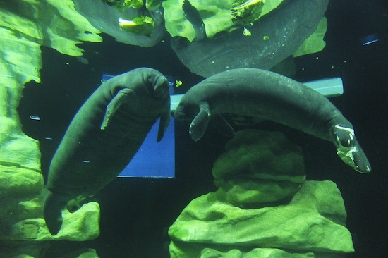 Manatees at The Seas with Nemo & Friends, Vail and Lou (Photo by Gene Duncan)