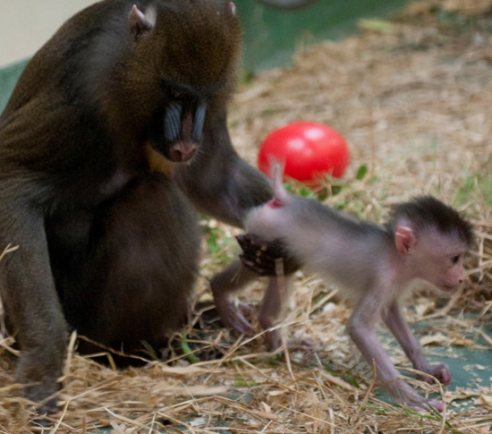Mandrill Kelley and her Baby at Disney's Animal Kingdom (Photo by Gene Duncan)