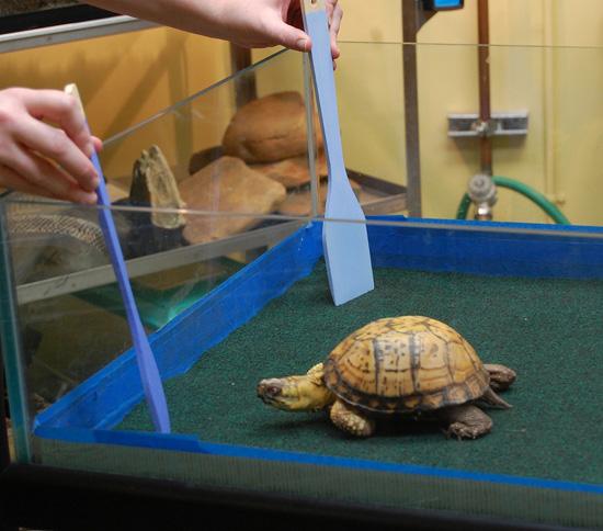 Eastern Box Turtle at Disney's Animal Kingdom