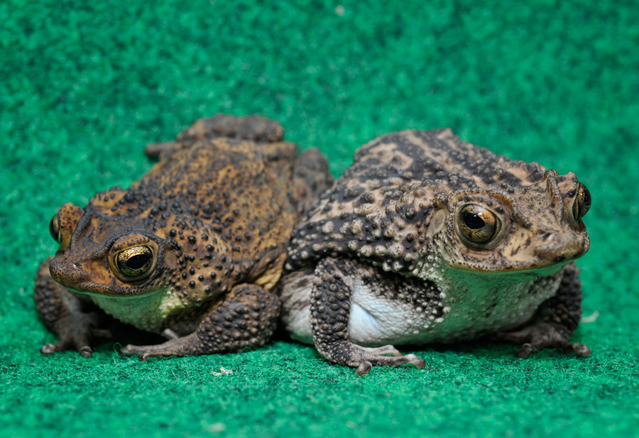Puerto Rican Toads at Disney's Animal Kingdom