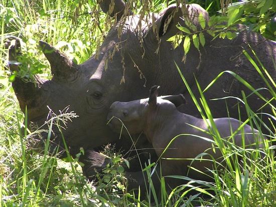 White Rhinos at Disney's Animal Kingdom