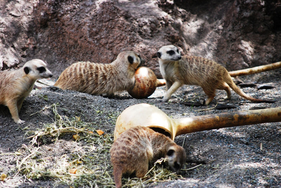 Meerkats at Disney's Animal Kingdom