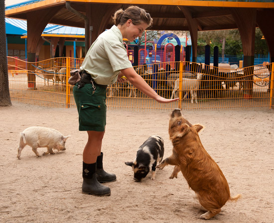 Kunekune Pigs at Disney's Animal Kingdom