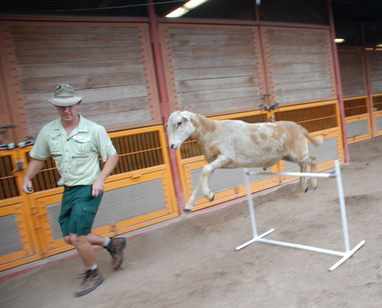 Animal Keepers at Disney's Animal Kingdom Help Keep Goats and Sheep Fit Through Personal Exercise Programs, Including Agility