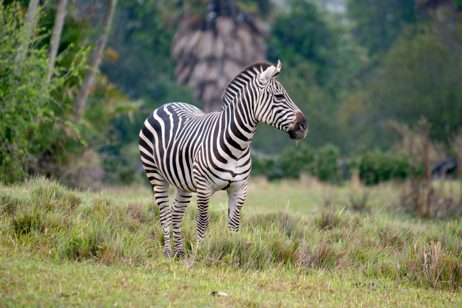 kilimanjaro safaris to boost zebra presence add savannah