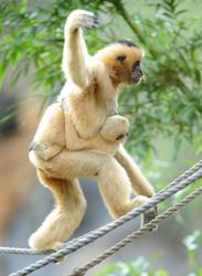 Disney's Animal Kingdom Celebrates Primates, Featuring the White-Cheeked Gibbon