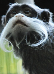 Disney's Animal Kingdom Celebrates Primates, Featuring the Emperor Tamarin