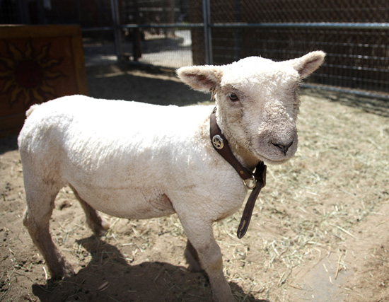 The New Sheep in the Big Thunder Ranch at Disneyland Park