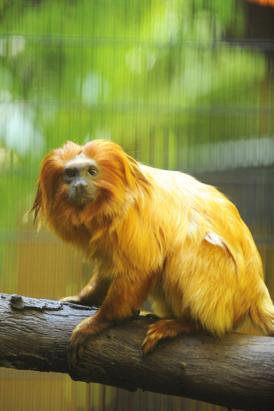 See the Endangered Golden Lion Tamarin at Rafiki's Planet Watch at Disney's Animal Kingdom