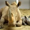 Rhinos at Disney's Animal Kingdom at Walt Disney World Resort