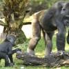 Gorillas at Disney's Animal Kingdom at Walt Disney World Resort