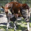 Okapi at Disney's Animal Kingdom at Walt Disney World Resort