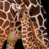 Baby Giraffe at Disney's Animal Kingdom at Walt Disney World Resort