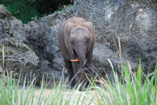 Baby Elephant Jabali Celebrates His First Birthday at Disney's Animal Kingdom at Walt Disney World Resort