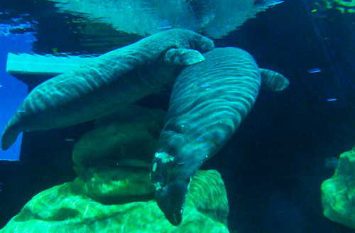 Rescued Manatees Lou and Vail Make Their Home at The Seas with Nemo & Friends at Epcot