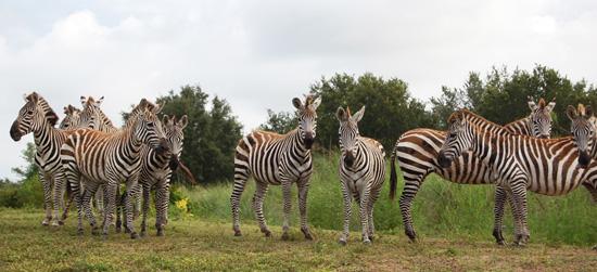 Plains Zebras in Kilimanjaro Safaris at Disney's Animal Kingdom