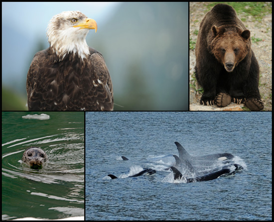 Explore Alaska's Wildlife with Disney Cruise Line
