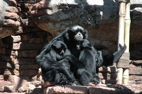 Siamang Kenny and his twin daughters, Veruca and Violet at Disney's Animal Kingdom