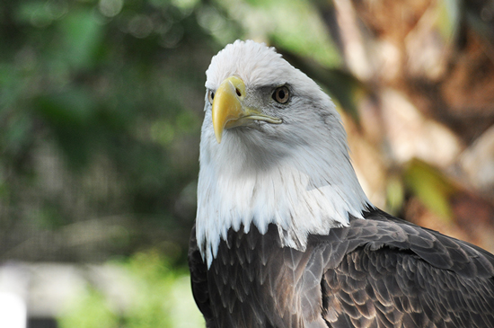 Wildlife Wednesdays: Disney Magic Helps Injured Bald Eagles, Our National Emblem, Return to the Sky
