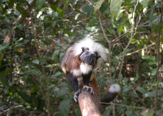 Tamara, Mom of 22 Among Cotton-Top Tamarins Celebrated This Month at Disney's Animal Kingdom