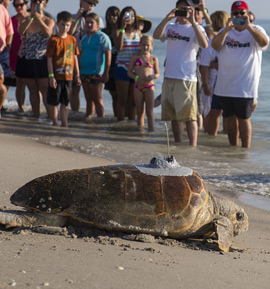Record Number of Sea Turtle Nests This Year at Disney's Vero Beach Resort