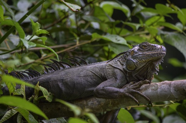 Green Iguana shot during Tortuguero boat trip