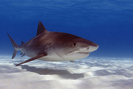 Wildlife Wednesday: Celebrating Shark Conservation for Shark Week. Photo Credit: Neil Hammerschlag, R.J. Dunlap Marine Conservation Program, University of Miami