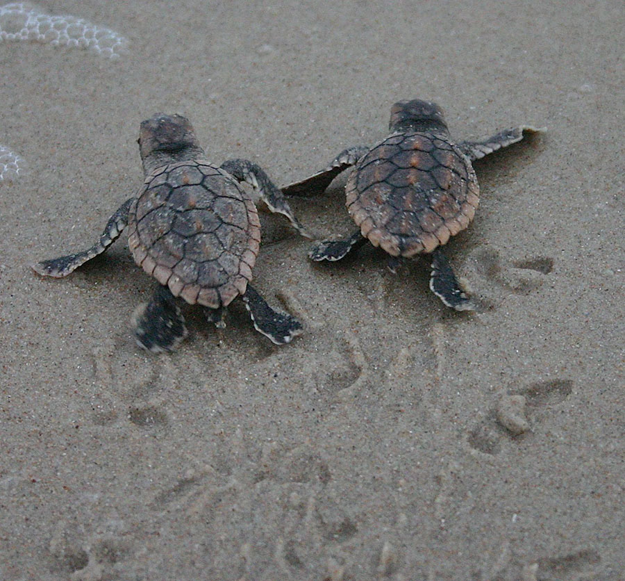 Sea Turtle Hatchlings At Disney S Vero Beach Resort