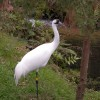 A Bright Future for Whooping Cranes at Disney's Animal Kingdom