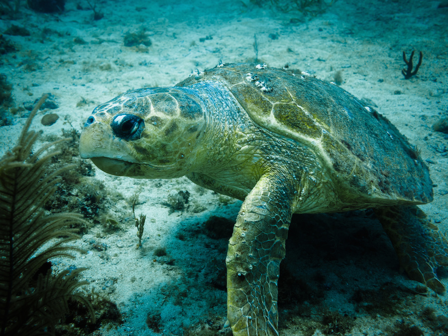 Loggerhead turtle with only 3 fins on coral reef in Caribbean