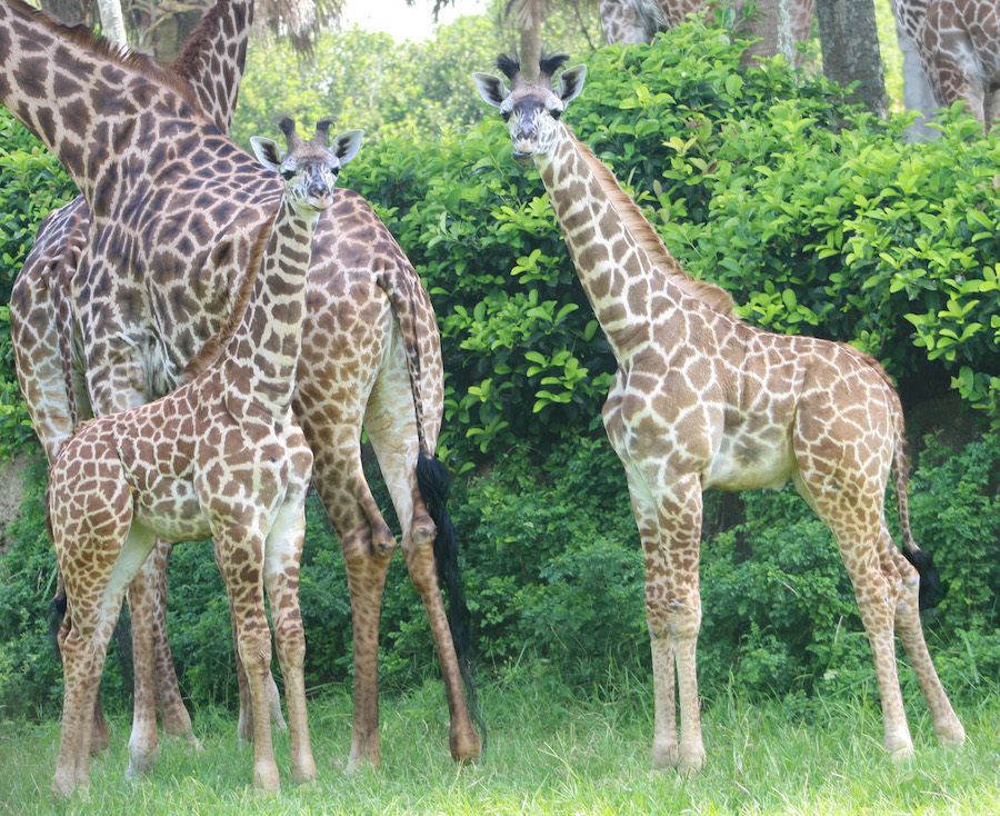 Wildlife Wednesday Welcome Our Baby Giraffe To The