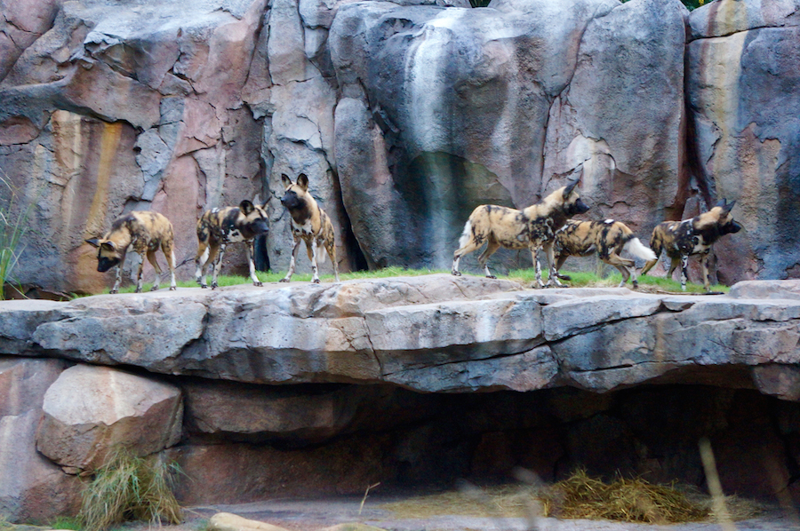 Wildlife Wednesday Painted Dogs At Disney S Animal