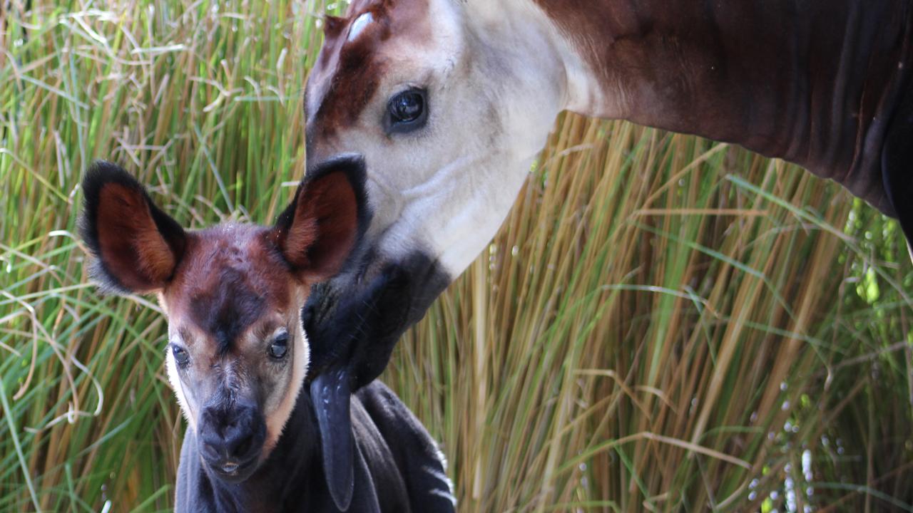 Zelda and her baby, Armando, at Disney's Animal Kingdom Lodge