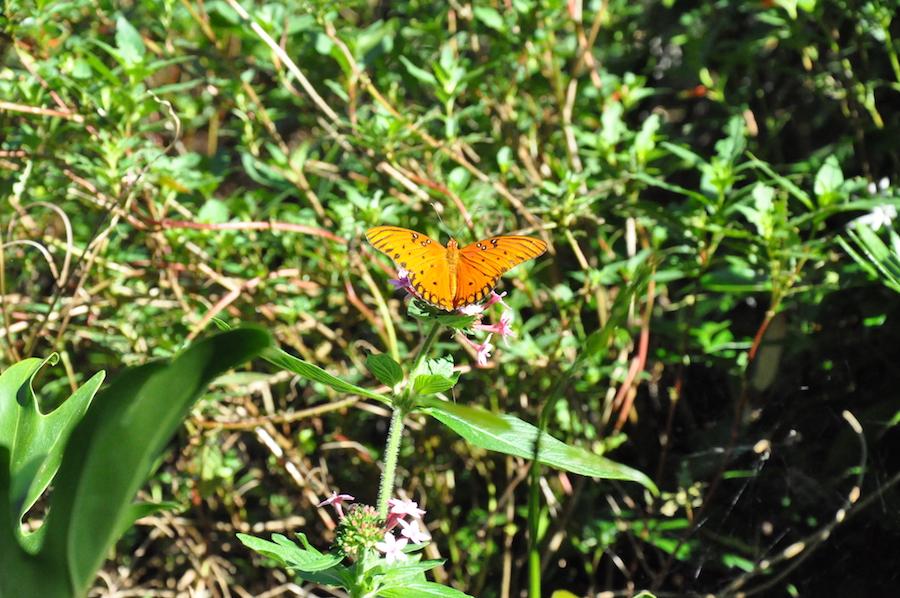 Butterflies in the Pollinator Garden at the Epcot International Flower & Garden Festival