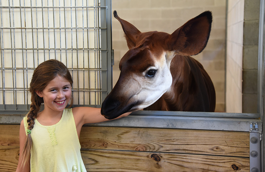 A Child with an Okapi at Sense of Africa Tour at Disney's Animal Kingdom at Walt Disney World Resort