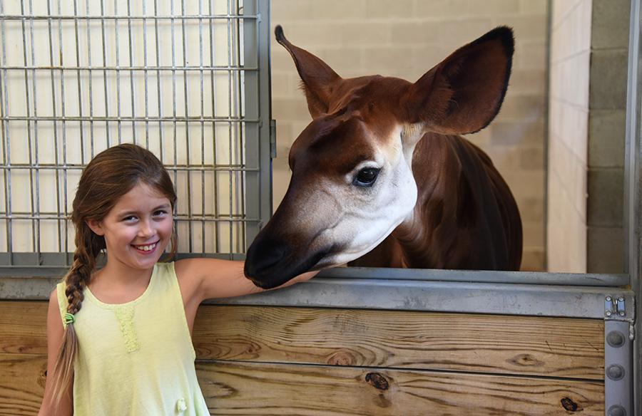 A Child with an Okapi at Sense of Africa Tour at Disney's Animal Kingdom at Walt Disney World Resort