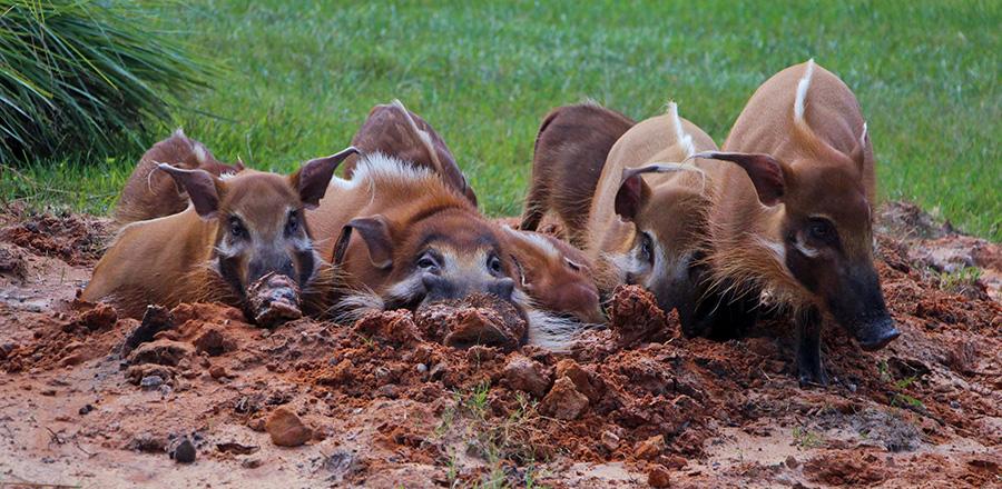 Red River Hogs at Sense of Africa Tour at Disney's Animal Kingdom at Walt Disney World Resort