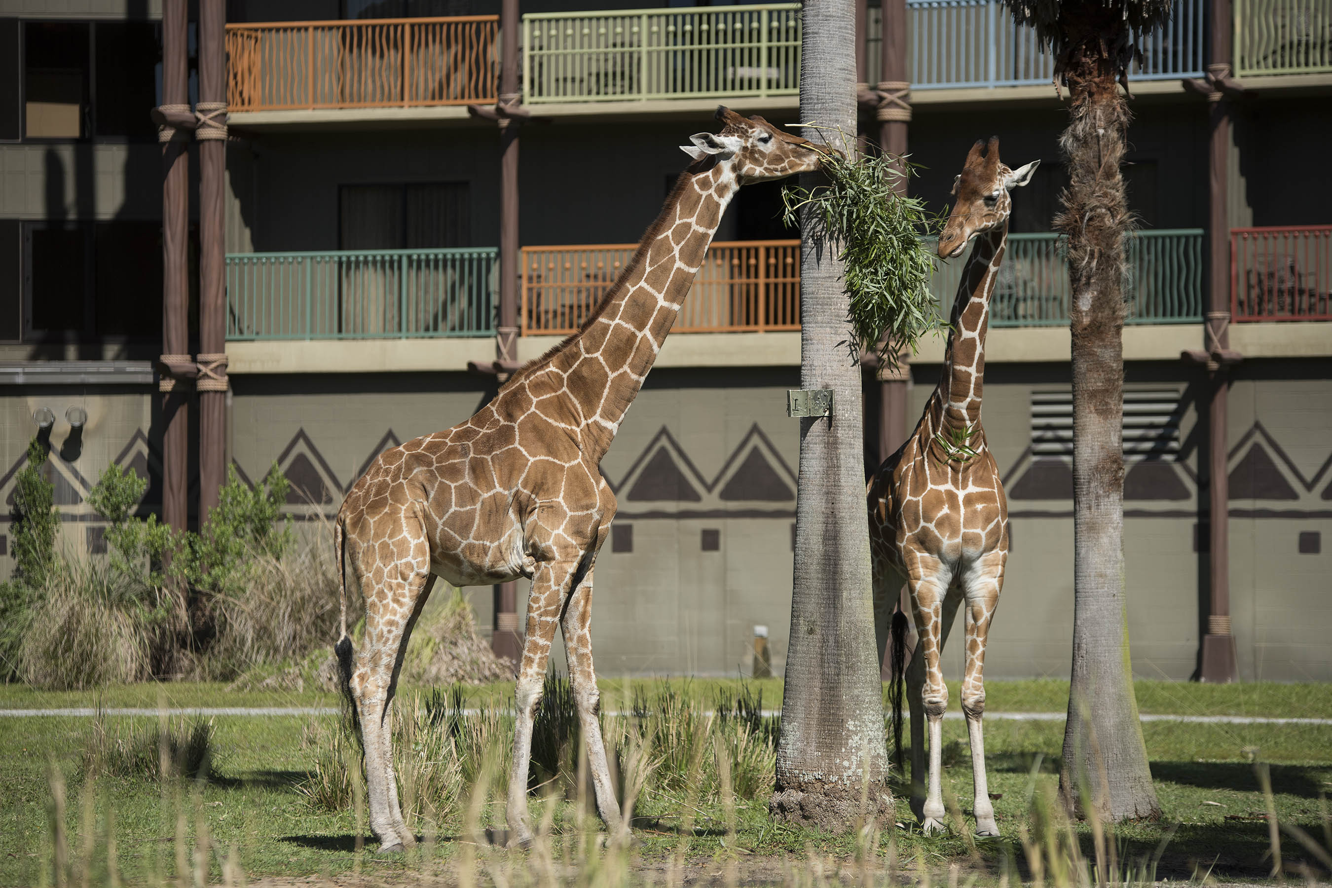 3 Generations of Giraffe Celebrate Mother's Day at Disney's Animal Kingdom Lodge Savanna