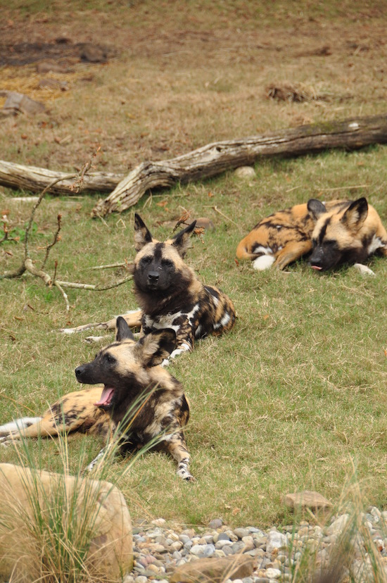 Painted Dogs on the Kilimanjaro Safaris at Disney's Animal Kingdom