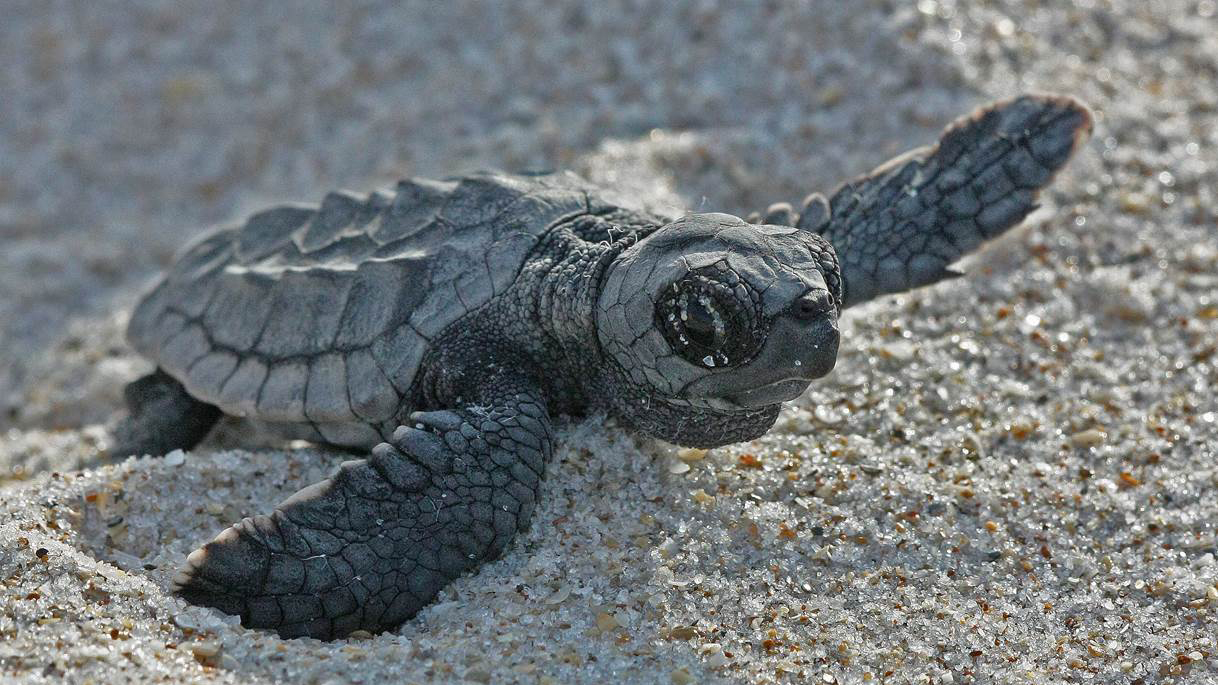 Adventures of a Nesting Sea Turtle