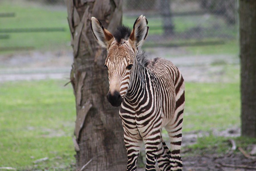 Photo Hartmann's zebra Daphne can be seen on the Sunset and Pembe Savannas at Disney's Animal Kingdom Lodge.
