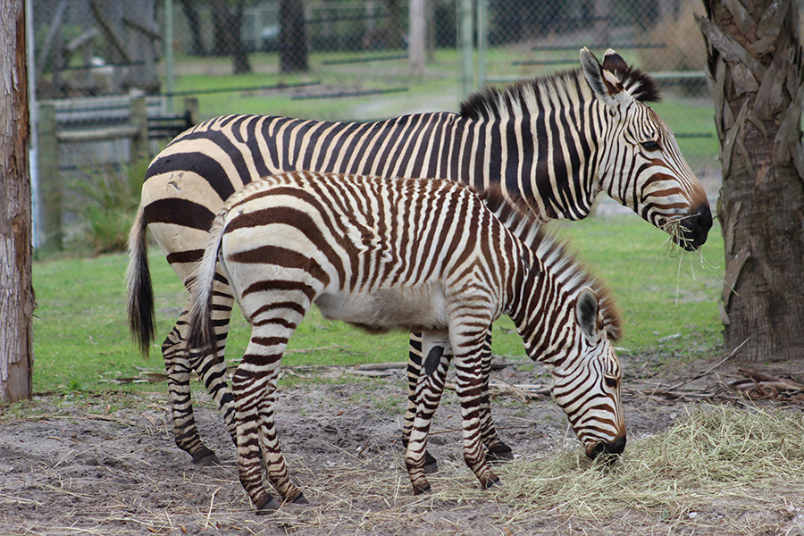 Here is a fantastic look at dewlaps on the throat of Hartmann's zebra Daphne and her mom.