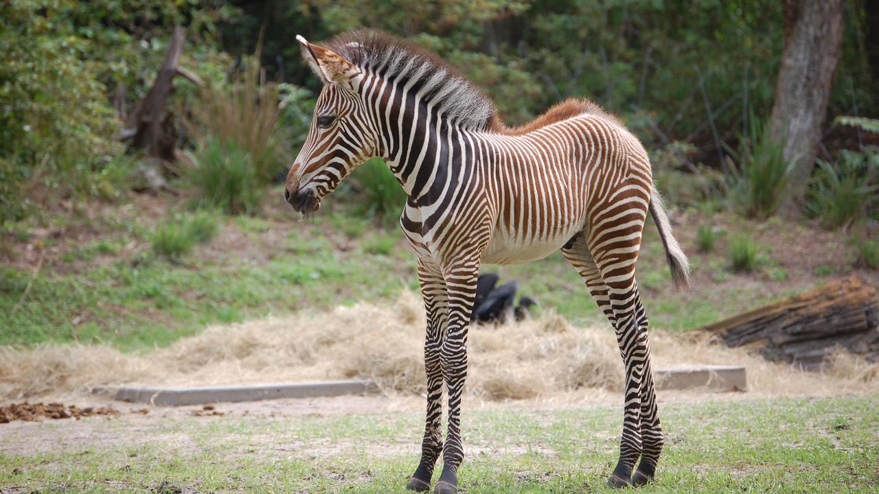 zebra baby disney animal zebras kingdom grevy born forest savanna foal walt trail zach rare resort grevys wildlife pangani exploration